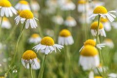 Piękni koloru żółtego pola kwiaty Zdjęcia Royalty Free