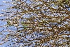 Piękni kręceni akacja kwiaty obraz royalty free