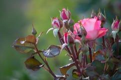 Piękni krzaków kwiaty, różowe czerwień ogródu róże w wieczór zaświecają na ciemnym tle dla kalendarza Fotografia Royalty Free