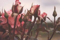 Piękni krzaków kwiaty, różowe czerwień ogródu róże w wieczór zaświecają na lekkim tle dla kalendarza Gotyka styl Fotografia Royalty Free
