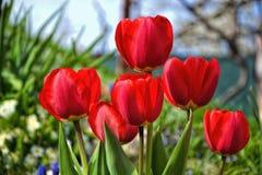 Piękni kwiatonośni czerwoni tulipany w ogródzie w wiośnie Zdjęcie Royalty Free