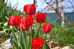 Piękni kwiatonośni czerwoni tulipany w ogródzie w wiośnie Obrazy Stock