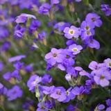 Piękni kwiatonośni mali purpura kwiaty Zdjęcia Royalty Free
