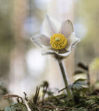 Piękni kwiatu Pulsatilla vernalis zdjęcie royalty free
