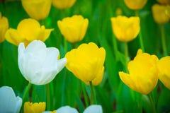Piękni kwiaty, żółci kwiaty, żółci tulipany Zdjęcia Stock