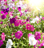 piękni kwiaty Zdjęcia Royalty Free