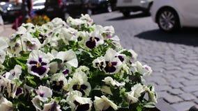Piękni kwiaty biała petunia w klombie na ulicie stary miasto Baku, Azerbejdżan zbiory