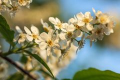 Piękni kwiaty czereśniowy drzewo Obraz Stock