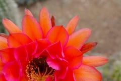 Piękni kwiaty Hybrydowy pochodnia kaktus obrazy stock