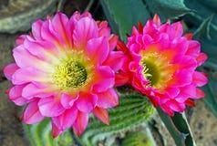 Piękni kwiaty Hybrydowy pochodnia kaktus zdjęcia royalty free