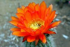 Piękni kwiaty Hybrydowy pochodnia kaktus zdjęcie royalty free