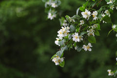 Piękni kwiaty jabłczani Fotografia Royalty Free
