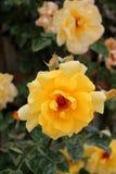 Piękni kwiaty kolor żółty róża przy ogródem Fotografia Royalty Free