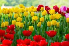Piękni kwiaty, kolorowi kwiaty, piękni tulipany Fotografia Royalty Free