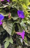 Piękni kwiaty kwitnie na ścianie garden_V fotografia royalty free