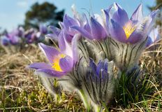 Kwiaty pasqueflower obraz royalty free