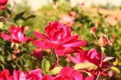 Piękni kwiaty pod światłem słonecznym Obrazy Royalty Free