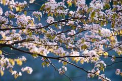 Piękni kwiaty Sakura w wiośnie fotografia royalty free