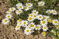 Piękni kwiaty stokrotka r na piasku pod gorącym słońcem Fotografia Stock