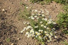 Piękni kwiaty stokrotka r na piasku pod gorącym słońcem Fotografia Royalty Free
