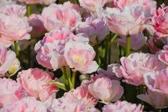 Piękni kwiaty tulipany w wiośnie obrazy royalty free
