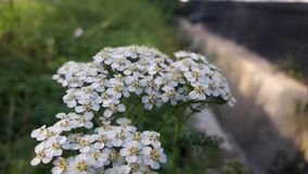 Piękni kwiaty w białym kolorze 100 kwiaty zdjęcia royalty free