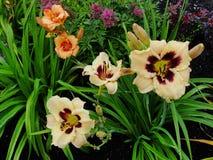Piękni kwiaty w lato ogródzie wielki kolor żółty z ciemnym centrum i pomarańcze Terry daylilies Fotografia Royalty Free
