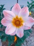 Piękni kwiaty    Wspaniały kwiat w świetle - różowy colour obraz royalty free