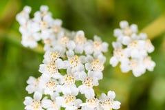 Piękni kwiaty z białymi płatkami na zielonym tle Obraz Royalty Free