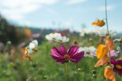 Piękni kwiaty z niebem jako tło przy Mon Przyskrzyniają, Chiang M zdjęcia stock