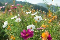 Piękni kwiaty z niebem jako tło przy Mon Przyskrzyniają, Chiang M zdjęcia royalty free