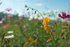 Piękni kwiaty z niebem jako tło przy Mon Przyskrzyniają, Chiang M zdjęcie stock