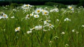 Piękni kwiaty z opromienionymi białymi płatkami przeciw tłu jaskrawy - zielona trawa Fotografia Stock