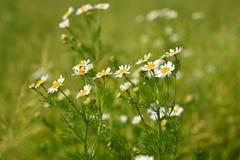 Piękni kwiecenie kwiaty - marguerites Lata naturalny kolorowy tło Leucanthemum młyn zdjęcie stock