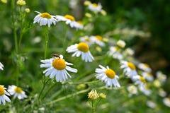Piękni kwiecenie kwiaty - marguerites Lata naturalny kolorowy tło Leucanthemum młyn obrazy royalty free