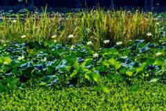 Piękni Kwitnący Żółci Lotosowi Wodnej lelui ochraniacza kwiaty i Inne rośliny wodne zdjęcie stock