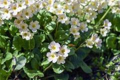 Piękni kwitnący żółci kwiaty pierwiosnek w słońcu Fotografia Stock