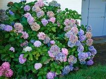 Piękni kwitnący błękitni i fiołkowi Hortensia kwiaty Zdjęcia Stock