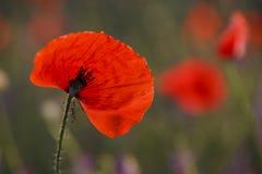Piękni kwitnący czerwoni maczki, kwiecisty tło Zdjęcia Stock