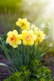 Piękni kwitnący daffodils outdoors Zdjęcie Stock