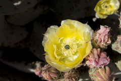 Piękni kwitnący dzicy pustynni kaktusów kwiaty Zdjęcie Royalty Free