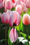 piękni kwitnący ogrodowych menchii tulipany Zdjęcia Stock