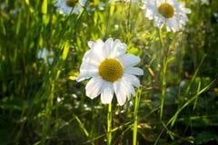 Piękni kwitnący rumianki w gardern fotografia royalty free