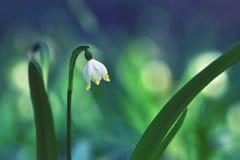 Piękni kwitnący wiosna płatków śniegu kwiaty (leucojum vernum carpaticum) Obrazy Stock