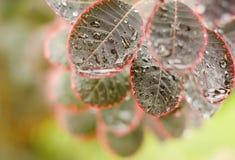 Piękni liście cotinus coggygria 'Królewski Fotografia Royalty Free