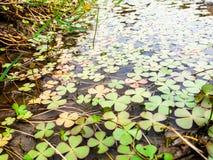 Piękni liście koniczynowa roślina Obraz Royalty Free