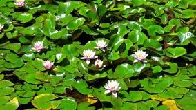 Piękni lotosowi kwiaty zdjęcie wideo
