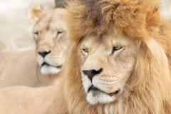 Piękni lwy obraz royalty free
