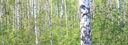 Piękni młodzi brzoz drzewa z zielonymi liśćmi Zdjęcie Stock