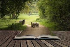 Piękni młodzi wiosna baranki bawić się w Angielskiej wsi lądują Zdjęcie Stock